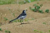 Wagtail02