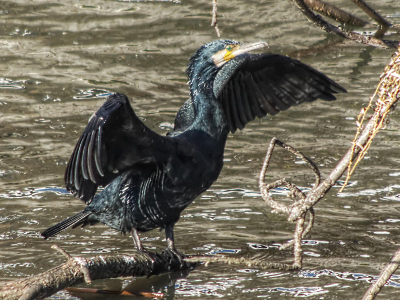 Cormorant02